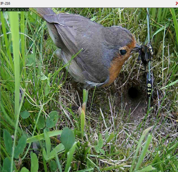 a dastardly robin makes off with one of our crickets